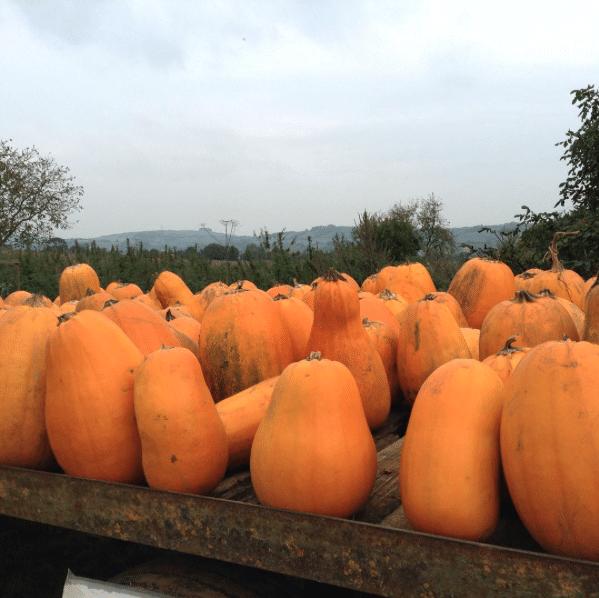 Squash Watch, Pumpkins on truck