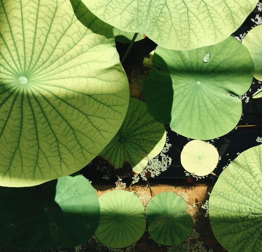 Bristol Botanical Gardens Lilypads