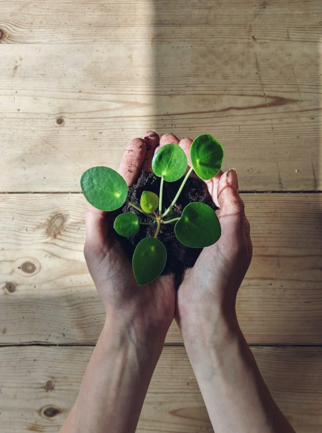 creative plant photography living pilea peperomioides cutting in hand